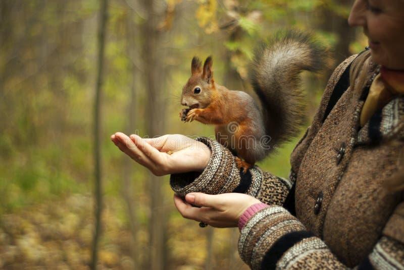 L'écureuil sauvage mange de la main image stock