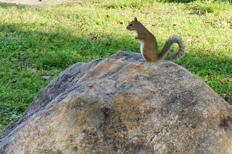 L'écureuil se tient sur la roche photo stock
