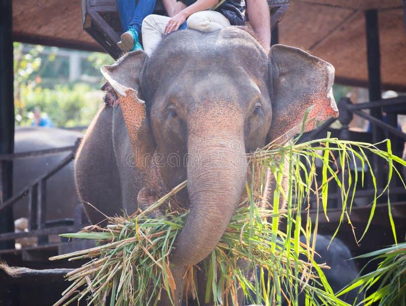 L'éléphant étant mangent l'herbe avec le touriste sur le dos d'éléphant dans l'elepha photo libre de droits