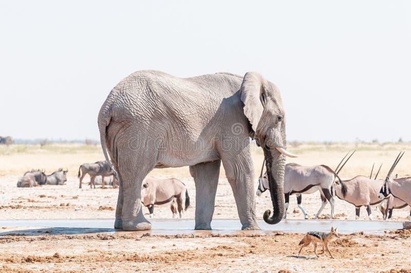 L'éléphant africain, noircissent le chacal et l'oryx soutenus à un point d'eau image stock