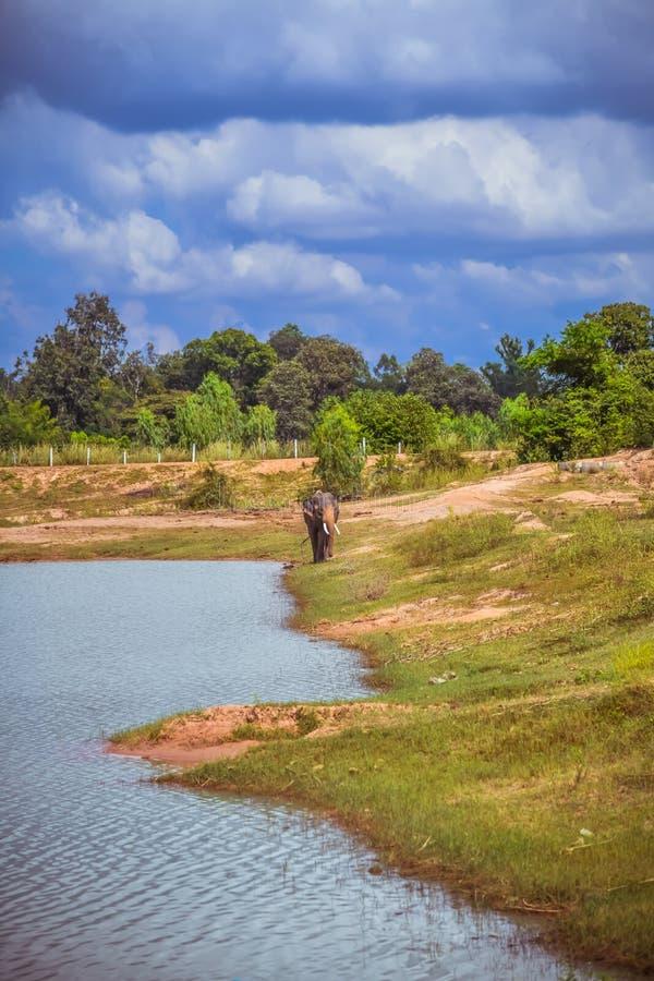 L'éléphant asiatique dans la nature Centre d'étude des éléphants Village d'éléphants en Thaïlande image libre de droits
