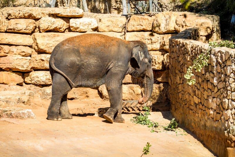 L'éléphant asiatique, zoo biblique de Jérusalem en Israël photos stock