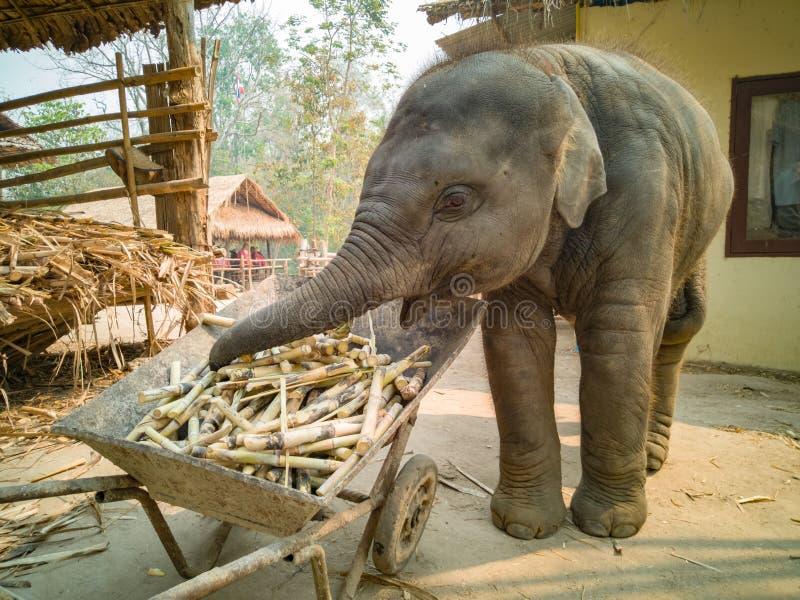 l'éléphant de bébé ont plaisir la consommation photo stock