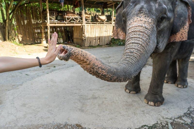 L'éléphant me donnent cinq avec la main de femmes images stock