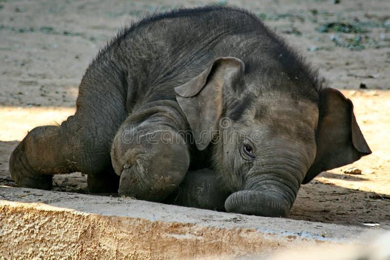 L'éléphant nouveau-né drôle de bébé essaye de se lever L'éléphant de bébé n'a pas encore appris à se tenir photos stock
