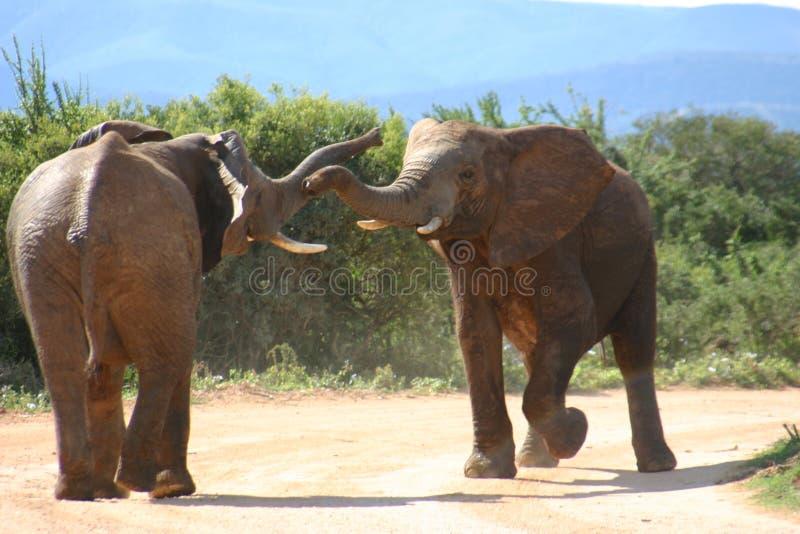 l'éléphant sur la route observent  photo libre de droits