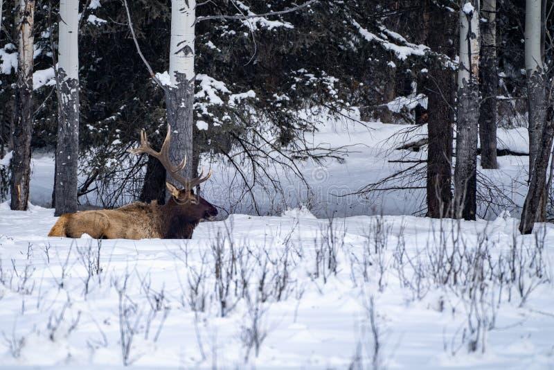 L'élan majestueux se repose dans la neige dans un pré neigeux ouvert le long de la route express de vallée d'arc en parc national photographie stock