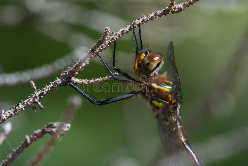 Download L'émeraude de Hine image stock. Image du faune, rare - 45361209