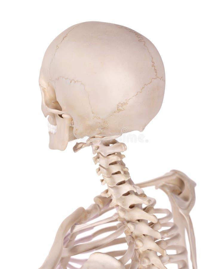L'épine et le crâne cervicaux illustration libre de droits