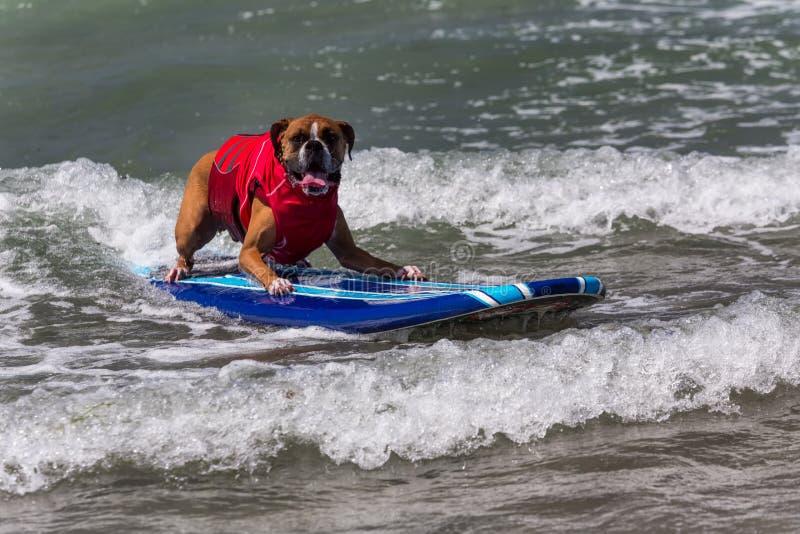 L équitation De Chien Ondule Sur La Planche De Surf Photographie éditorial