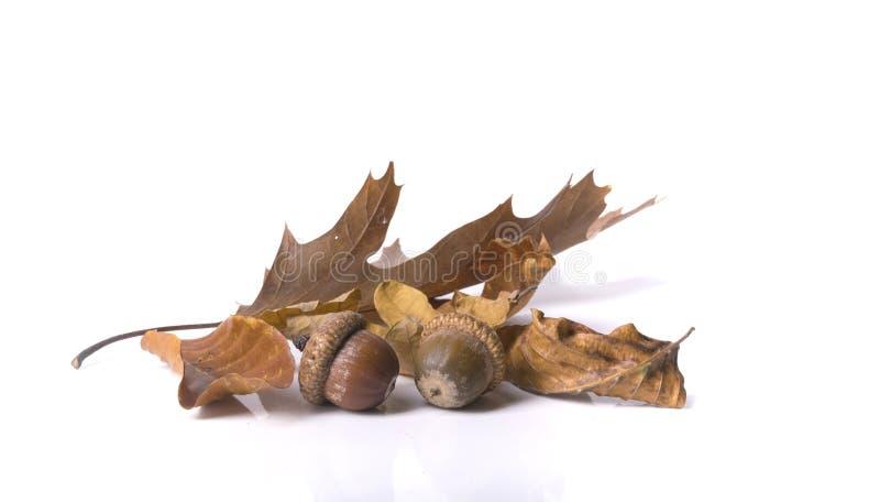 L'érable d'isolement d'automne part du feuillage au-dessus d'un fond blanc I photographie stock
