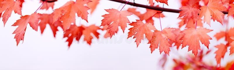 L'érable de jour de Canada part du fond Feuilles en baisse de rouge pour Canad photos libres de droits