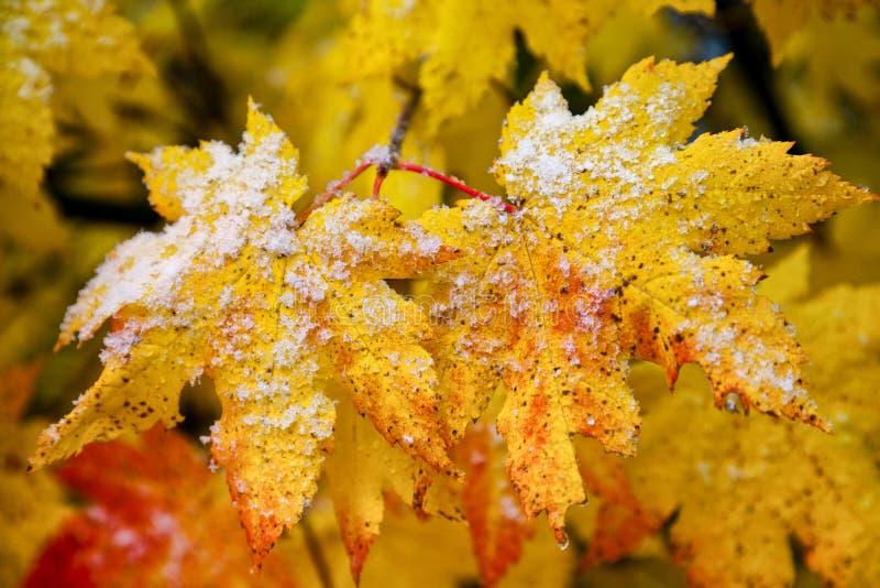 L'érable jaune d'automne part avec la neige tôt sur eux photos libres de droits