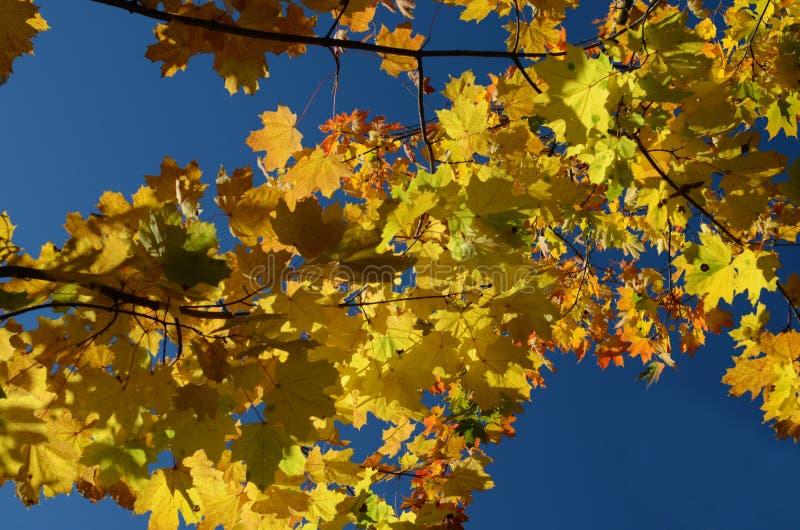 L'érable jaune d'automne part contre le ciel bleu photos stock