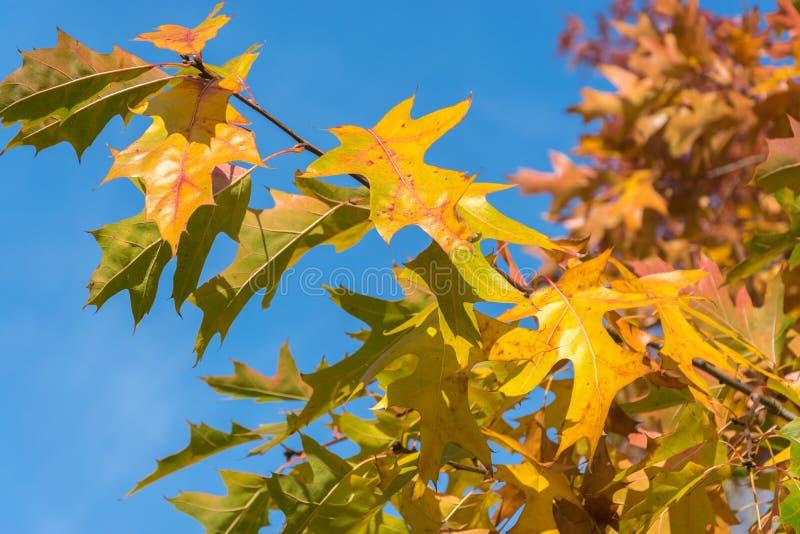 L'érable jaune part dans la perspective du ciel bleu lumineux Plan rapproché naturel de fond d'automne photos libres de droits