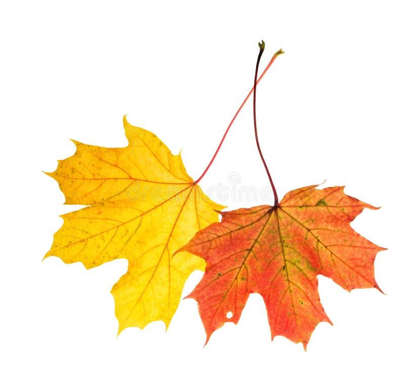 L'érable jaune rouge d'automne part du fond blanc d'isolement images stock