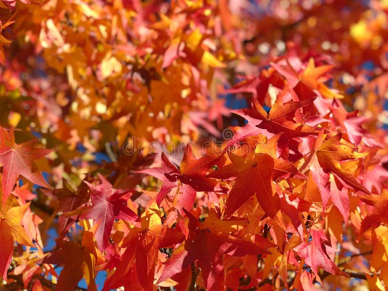 L'érable laisse à automne de ciel bleu le fond jaune rouge image libre de droits