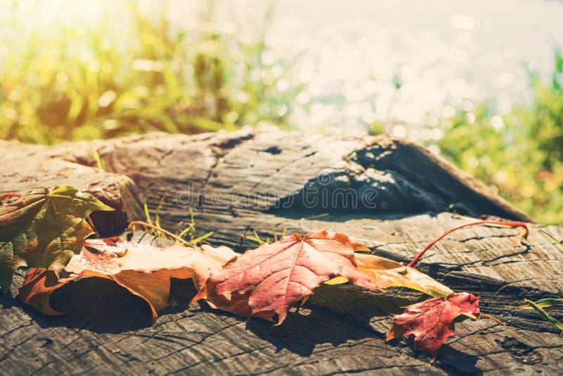L'érable modifié la tonalité d'automne part sur la souche avec le fond et le sunli de lac photographie stock