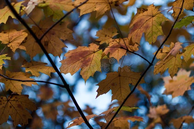 L'érable orange éclairé à contre-jour d'automne part contre un ciel bleu photographie stock libre de droits