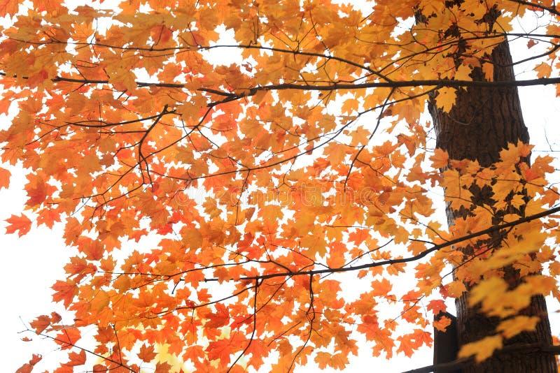 L'érable orange lumineux part contre le ciel blanc photos libres de droits