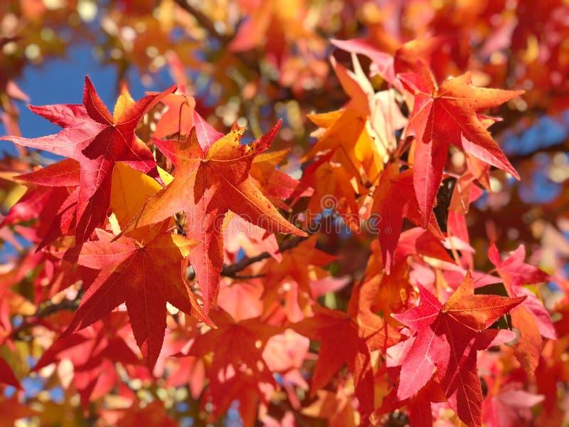L'érable part du fond de nature d'automne de ciel bleu photographie stock
