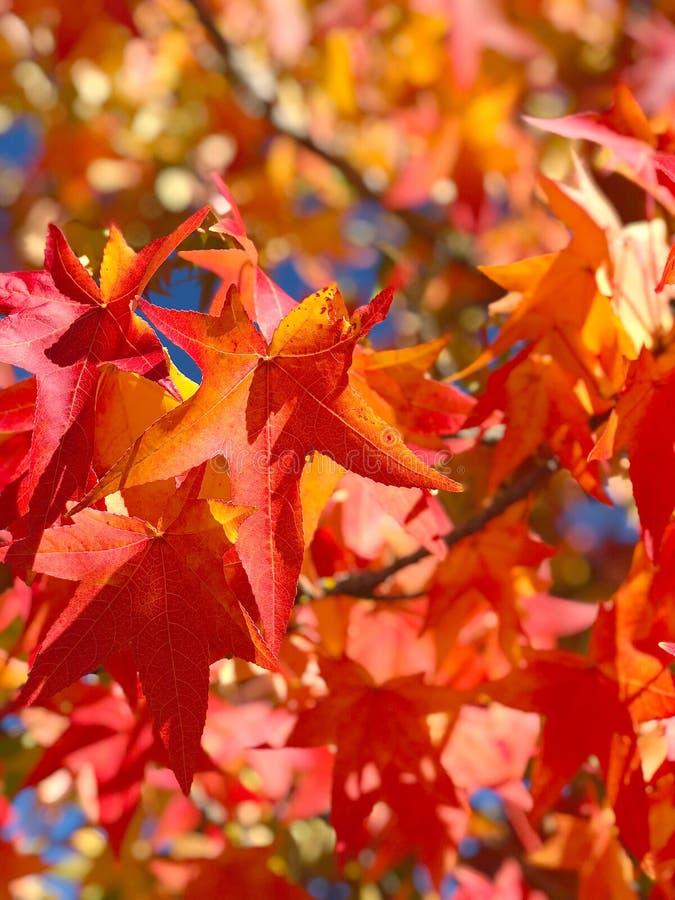 L'érable part du fond de nature d'automne de ciel bleu photos stock