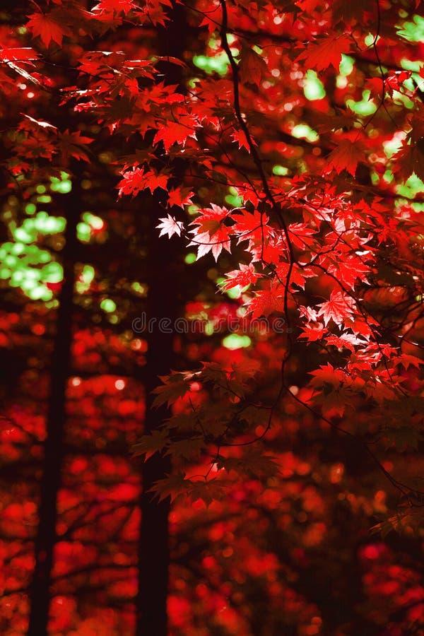L'érable rouge d'automne part du fond photos stock