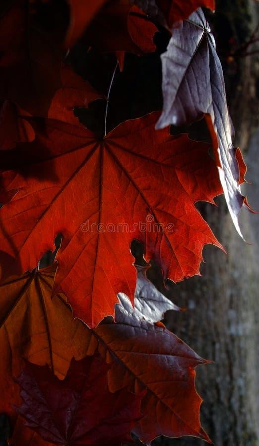 L'érable rouge foncé laisse détaillé dans ensoleillé images stock