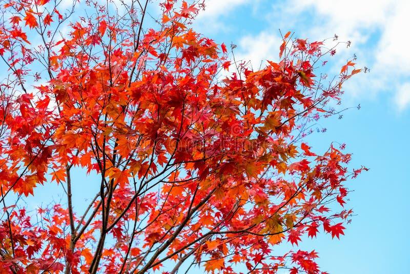 L'érable rouge lumineux part sur le paysage clair de fond de ciel bleu dans la saison d'automne, tour de feuilles d'érable d'oran images stock