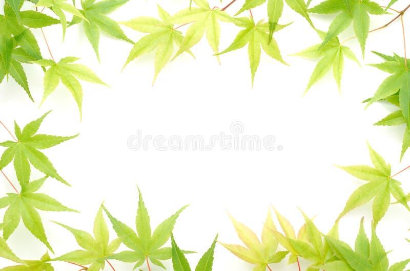 L'érable vert part de la trame images stock