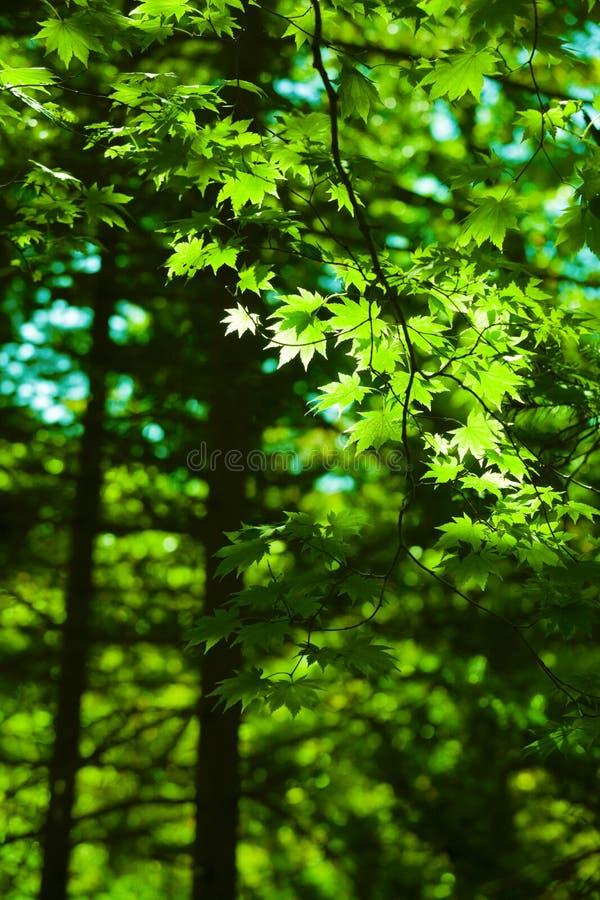 L'érable vert part du fond de forêt photo stock