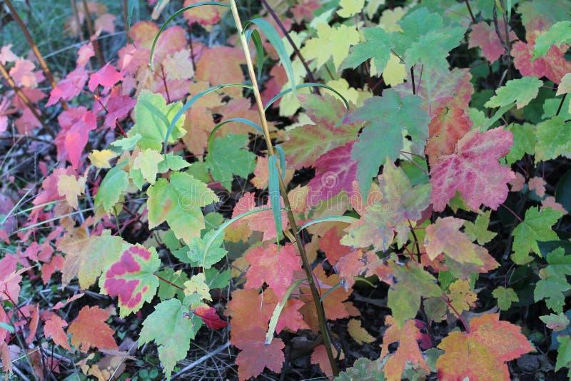 L'érable vif part le long du chemin de la forêt de Walden Pond images libres de droits
