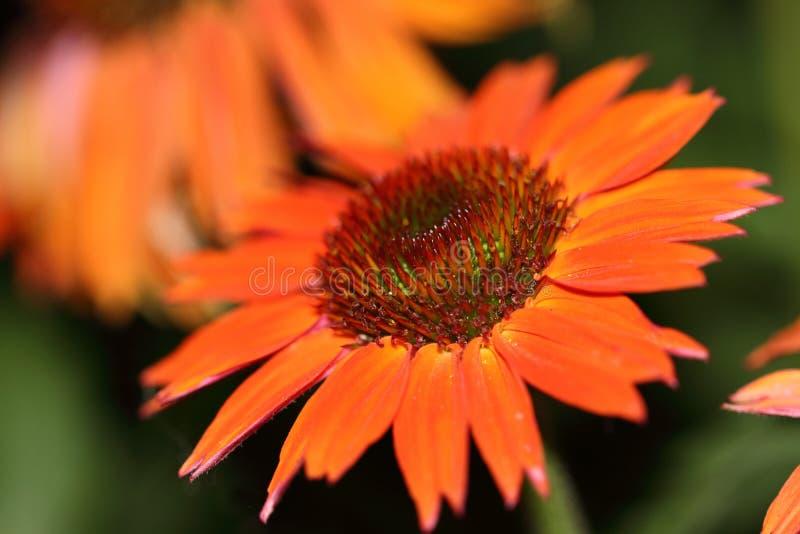 L'été chaud d'echinacea est très populaire avec les papillons qui descendent là-dessus massivement photos libres de droits
