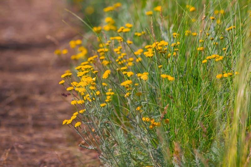 L'été fleurit des fleurs de camomille sur le pré image stock