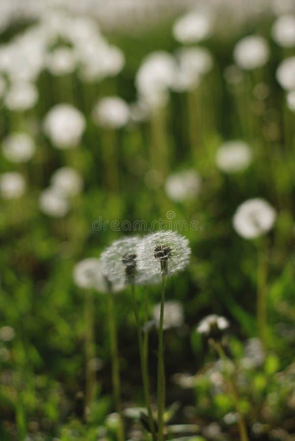 L'été pelucheux fleurit des pissenlits sur le fond brouillé par vert de champ images stock