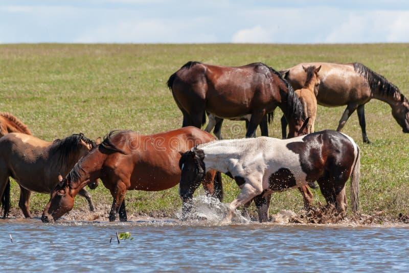 L'étalon frappe le sabot de l'eau Les chevaux se reposent par l'eau La Bachkirie images libres de droits
