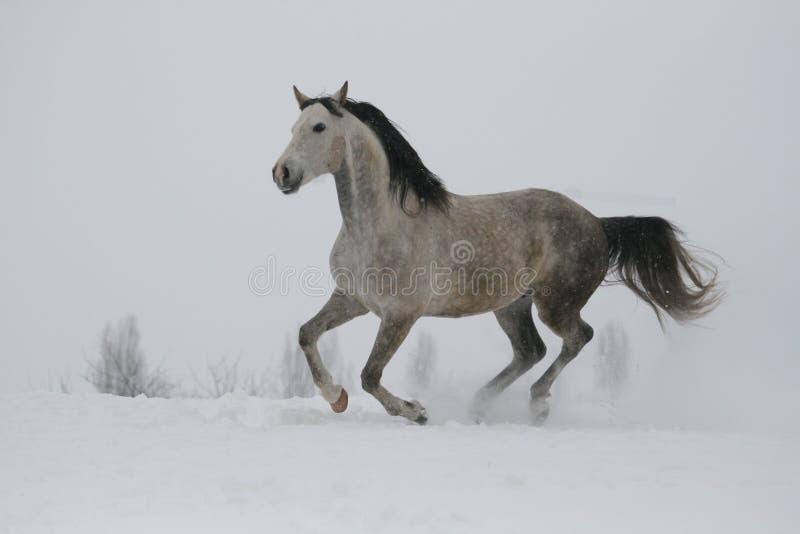 L'étalon gris galopant sur la pente dans la neige Mouches de cheval au-dessus de la terre images libres de droits