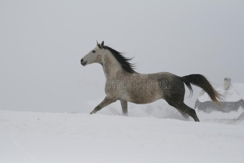 L'étalon gris galopant sur la pente dans la neige Un cheval galope dans la neige profonde image libre de droits