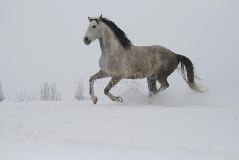 L'étalon gris galopant sur la pente dans la neige photos libres de droits