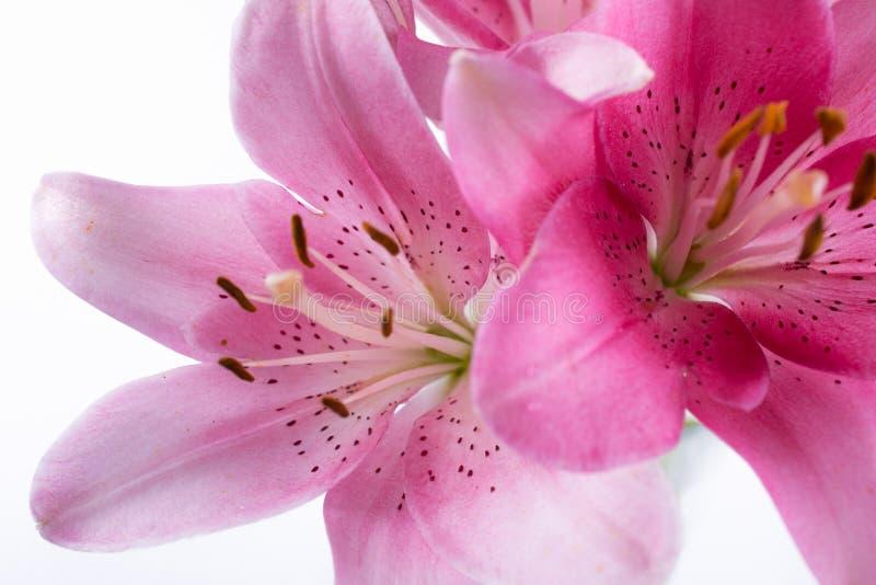 L'étamine et le pistil des lis roses de fleur se ferment  photo stock