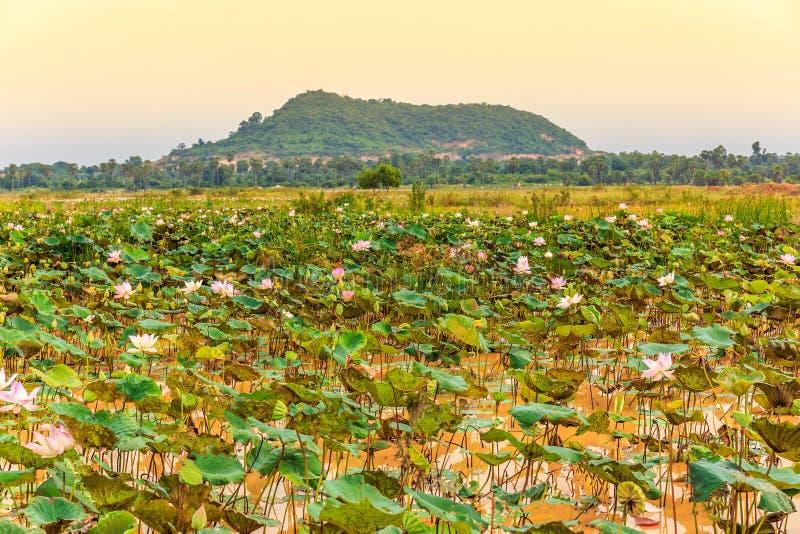 L'étang avec Lotus Flowers fraîche et les feuilles vertes donnent sur un Mounta photo libre de droits
