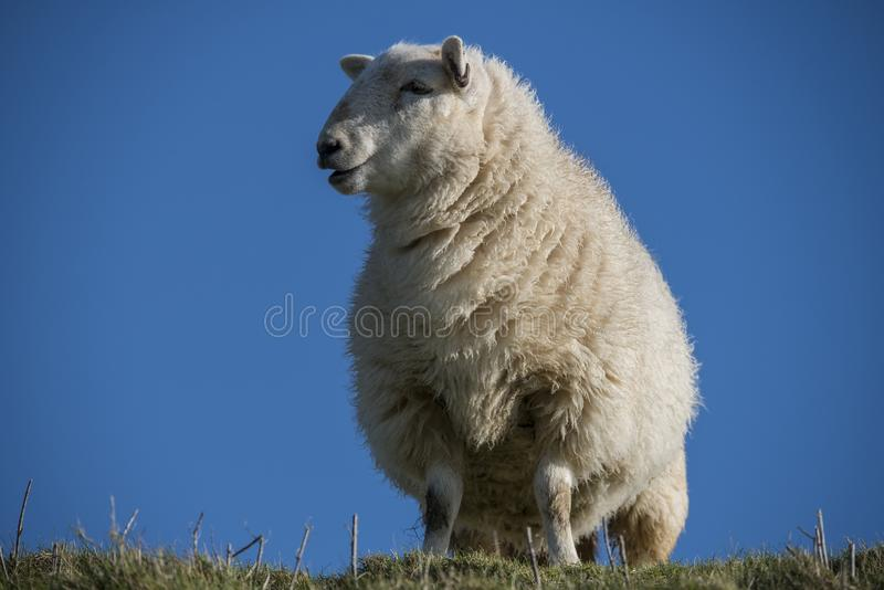 L'étude d'un sud avale des moutons image stock
