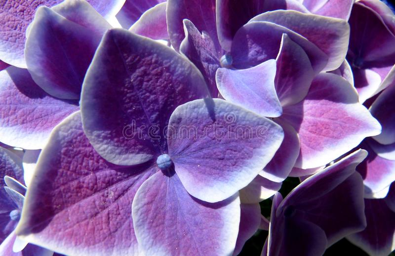 Closeup of hydrangea flowers in white blue lilac stock photo