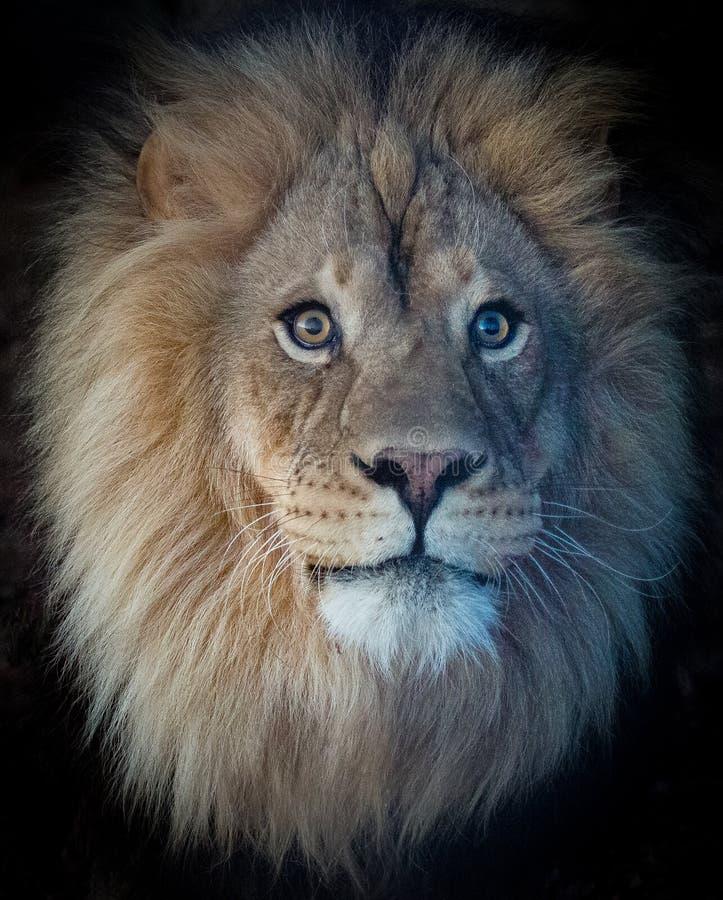 L'abbagliamento del leone fotografie stock libere da diritti