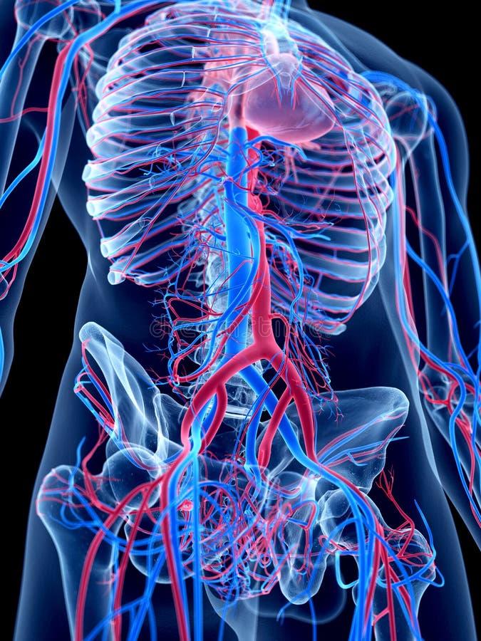 L'abdomen illustration libre de droits