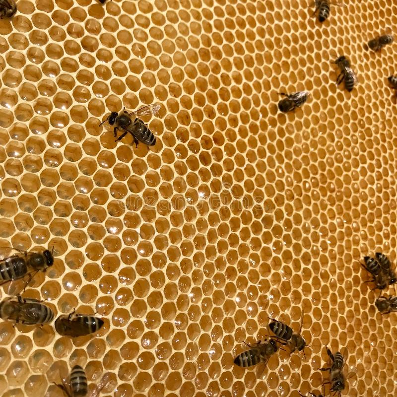 L'abeille à ailes vole lentement au nid d'abeilles pour rassembler le nectar pour le miel sur le rucher privé des fleurs photographie stock