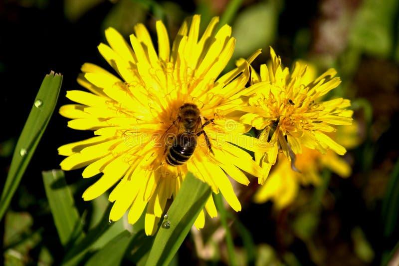 L'abeille photo libre de droits