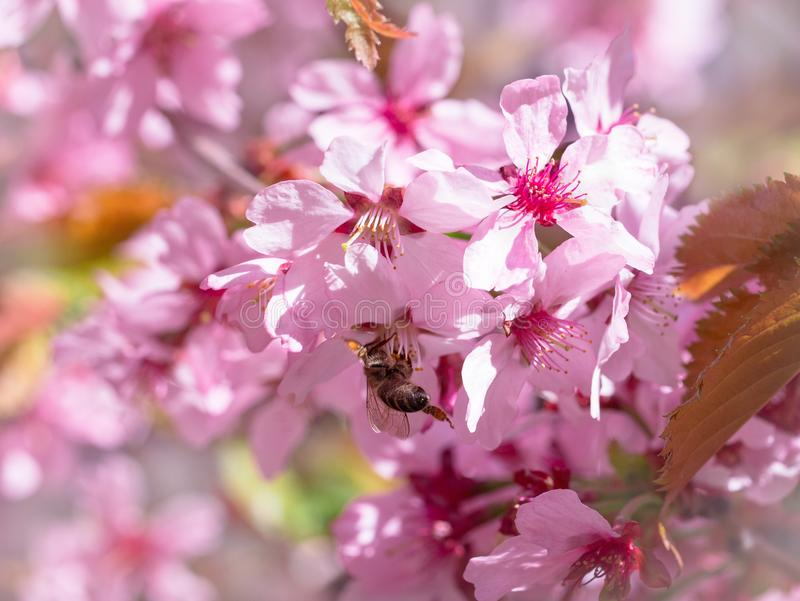 L'abeille d'insecte a volé à la branche des fleurs de cerisier, rassemblant le nectar photos libres de droits