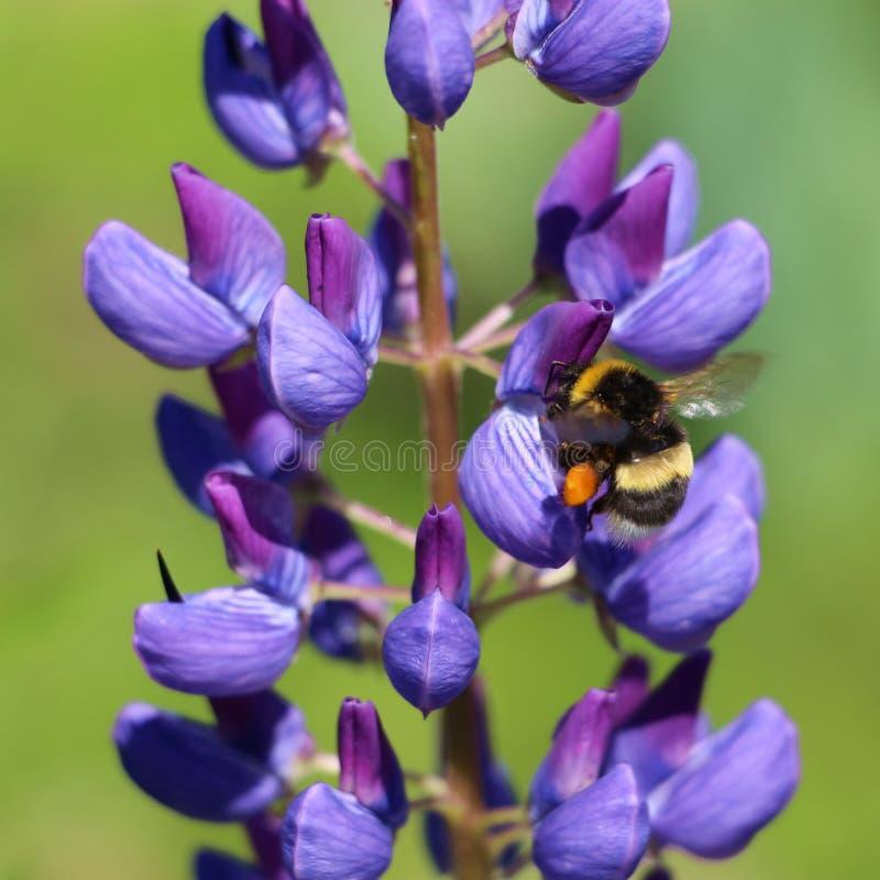 L'abeille de gaffer rassemble le miel photo libre de droits