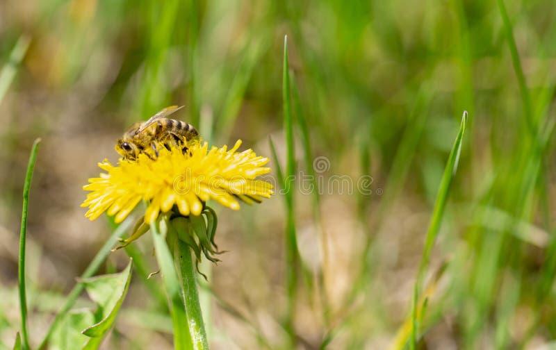 L'abeille de miel pollinisent le pr? jaune de fleur au printemps images stock